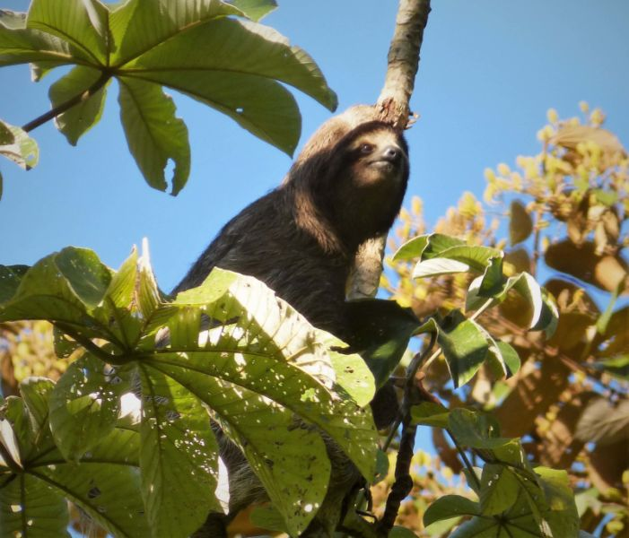 Hoffman's Two-toed Sloth. Choloepus hoffmanni in Cecropia tree