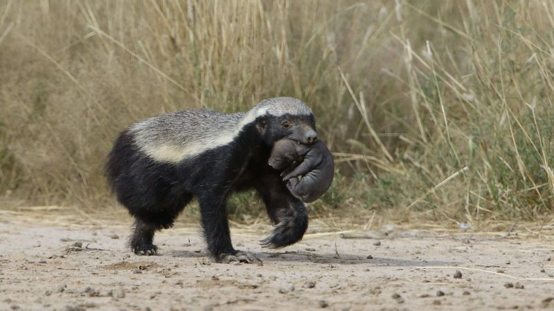 Honey badger, Mellivora capensis, carrying young pup in her mouth at Kgalagadi Transfrontier Park, Northern Cape, South Africa