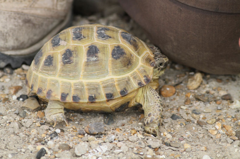 Horsfield's Tortoise (Agrionemys horsfieldi)