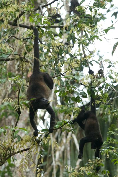 Howler monkeys, Pipeline Rd