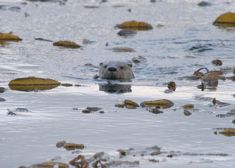 Southern River Otter photo