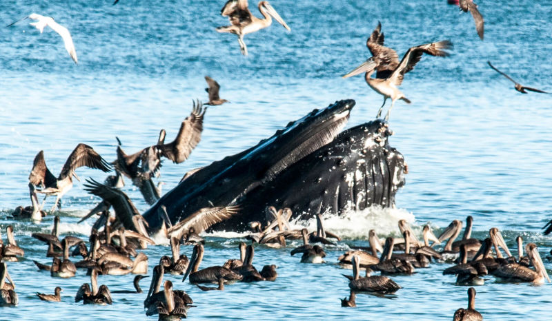 "Humpback Whale enjoying a ""snack"".   (not the pelican) :-)"