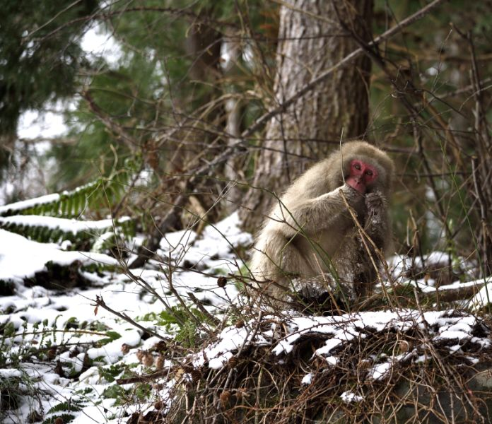 Hungry Snow Monkey