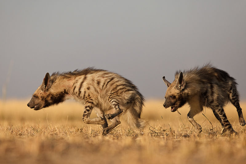 Hyena (Sub-Adult): Playful Mood