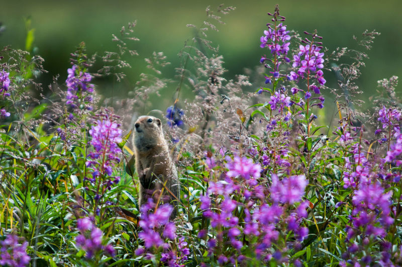 I Am a Fireweed- Arctic Ground Squirrel