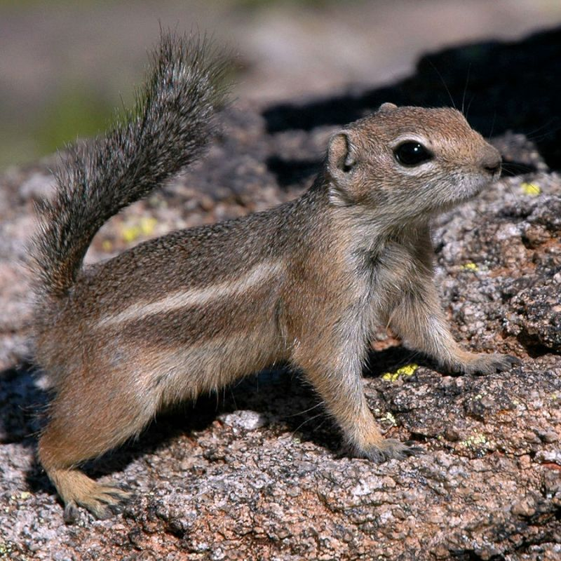 Harris's Antelope Squirrel photo