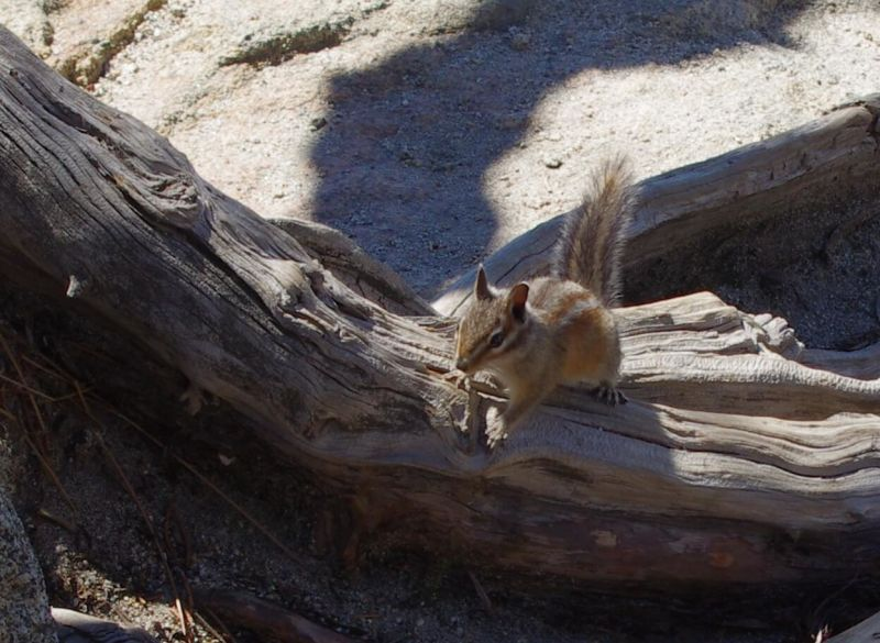 IMGP6910 cr Bird Food - Golden Mantled Ground Squirrel? Yellow Pine Chipmunk? Okay - I think I know - it's a Merriam's Chipmunk