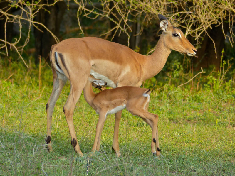 Impalas (Aepyceros melampus) female and young