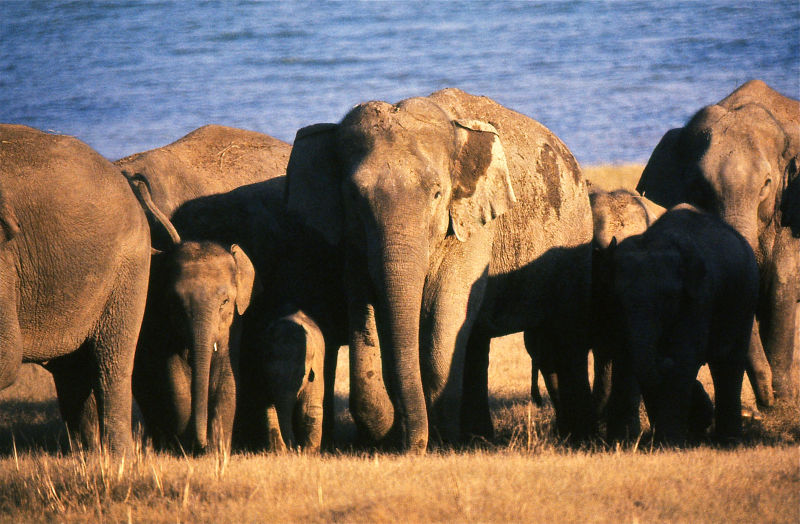 Indian Elephants (Elephas maximus indicus) herd at sunset