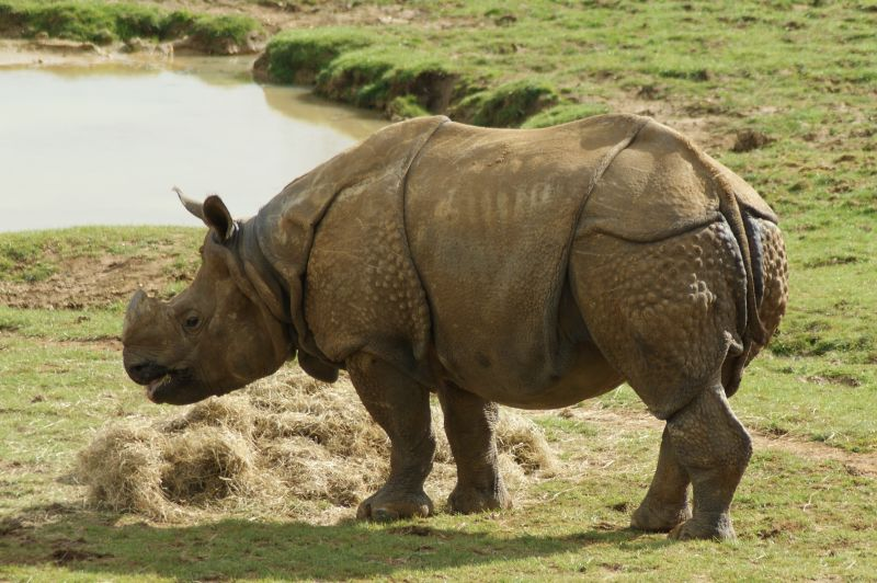 Indian Rhinoceros (Rhinoceros unicornis), ZSL Whipsnade Zoo