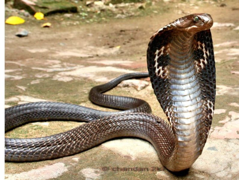 Indian spectacled cobra