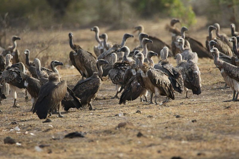 Indian Vulture photo
