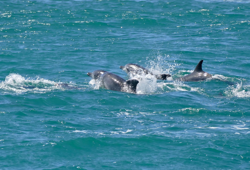 Indo-Pacific Bottlenose Dolphins (Tursiops aduncus)