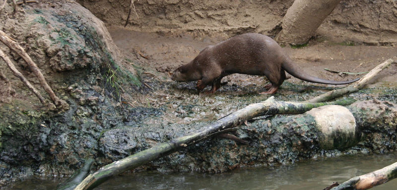 INDOCHINESE SMOOTH-COATED OTTER