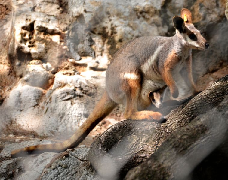 Is that a Wallaby in Your Pocket?