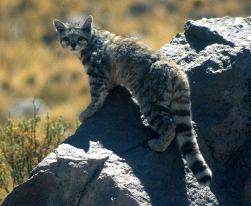 Andean Mountain Cat photo