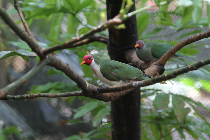 Jambu Fruit Doves - Male and Female (Ptilinopus jambu)