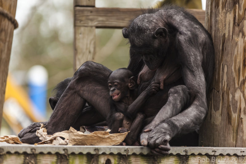 Bonobo - Facts, Diet, Habitat & Pictures on Animalia bio