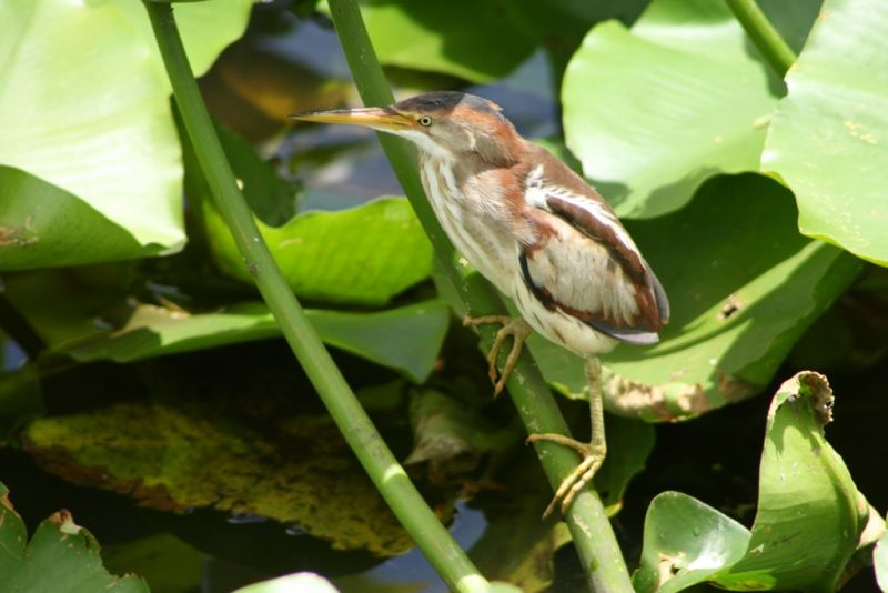 Juv. Least Bittern in the sunlight (Ixobrychus exilis)