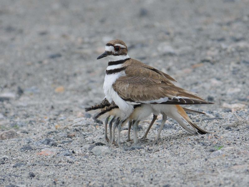 Killdeer_20100504_49