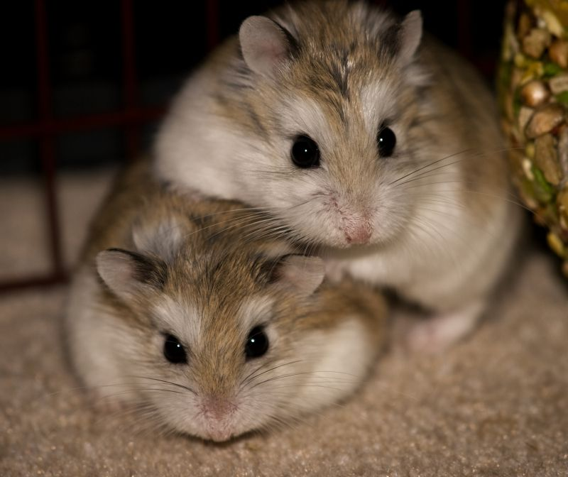 Roborovski Hamster photo