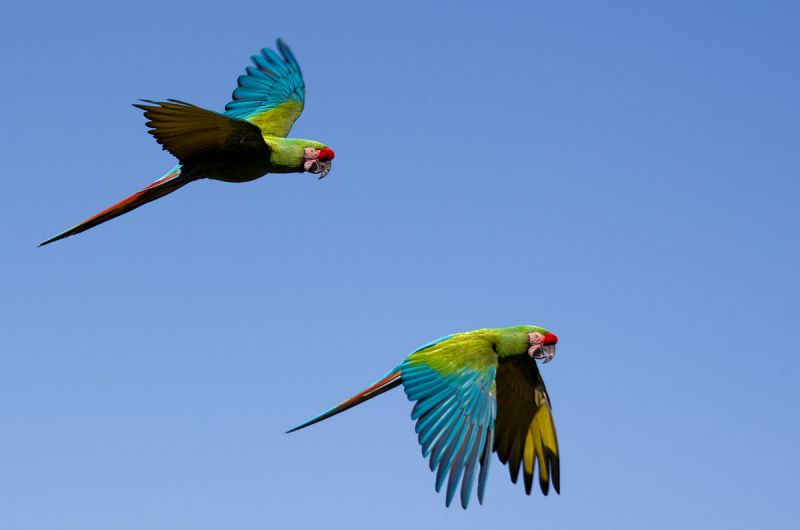 Great Green Macaw photo