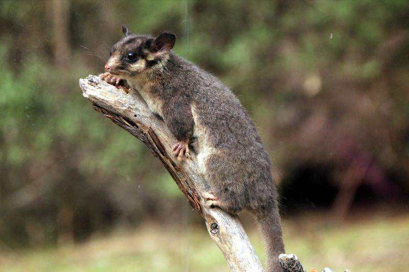 Leadbeater's Possum called George watching the picnic activity