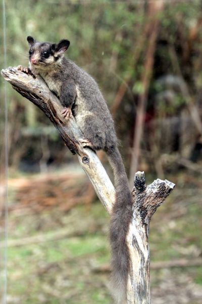 Leadbeater's Possum called George
