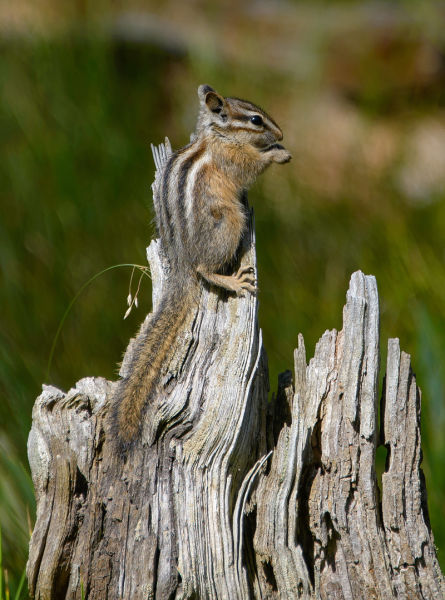 Least chipmunk (Tamias minimus), Coulter Bay, Grand Teton NP