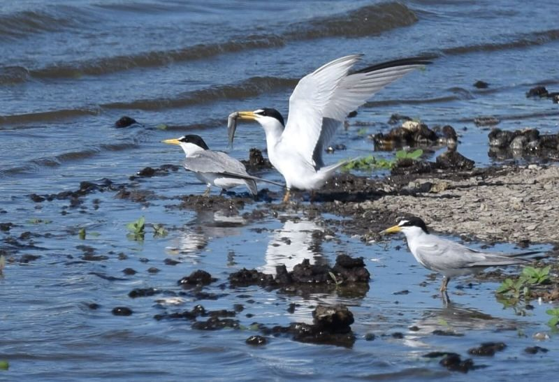 Least Tern Courtship at Riverlands