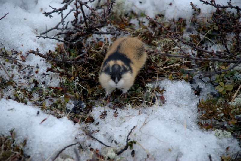 Lemming full resolution (4103 #2)