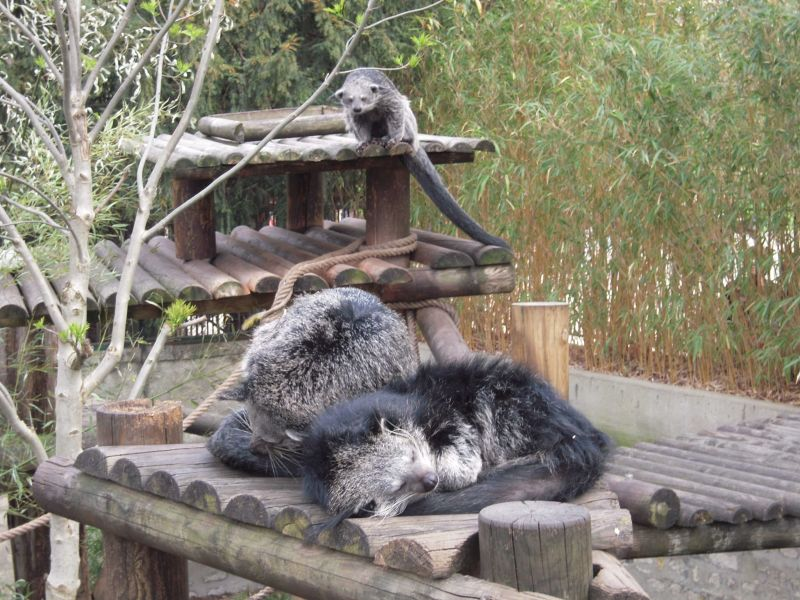 LES BINTURONGS