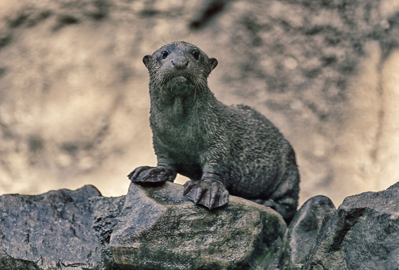 (LIttle) Giant River Otter