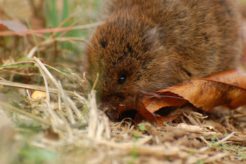 Little Vole dude