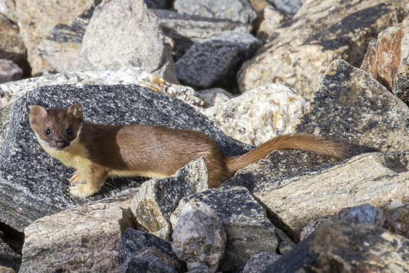 Long-tailed Weasel, Rock Cut, 8-5-13