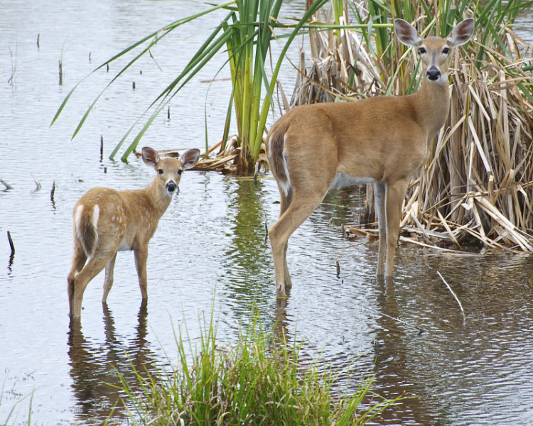Losing Its Spots - Mom and Young White-tailed Deer