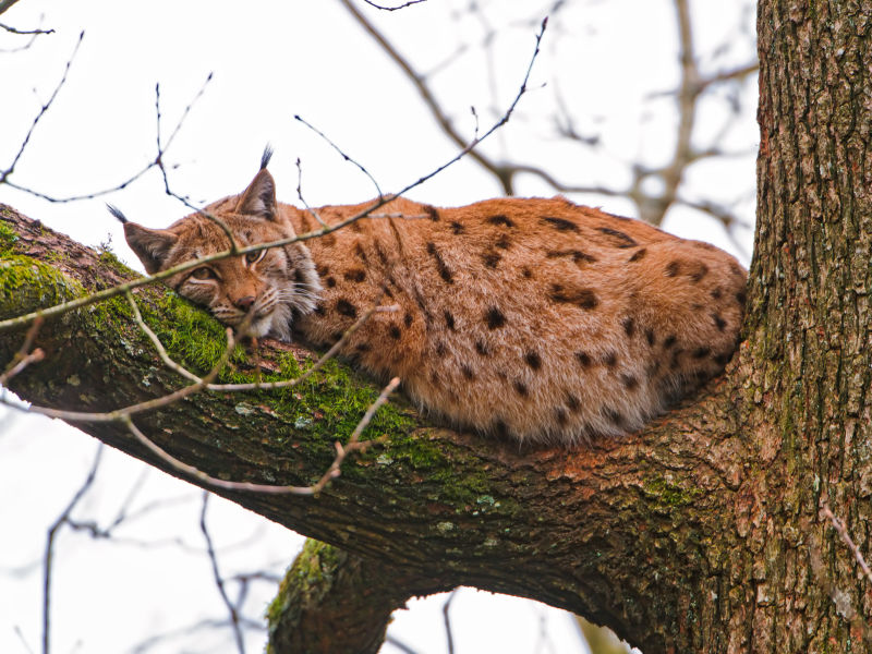 Lynx lying in the tree