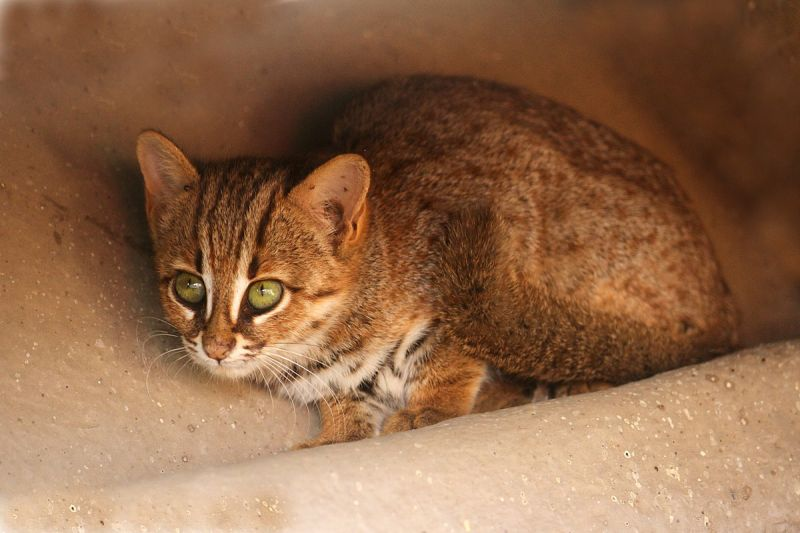 Rusty-Spotted Cat photo