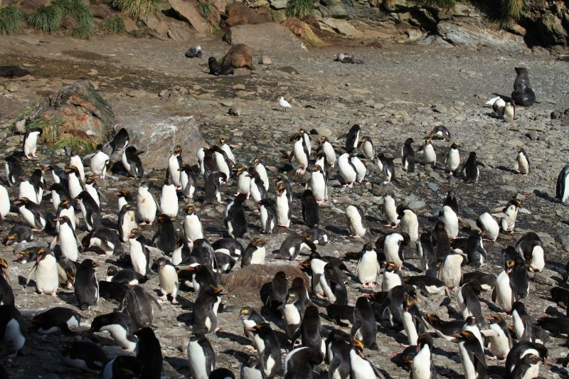 Macaroni Penguins at Cooper Bay, South Georgia