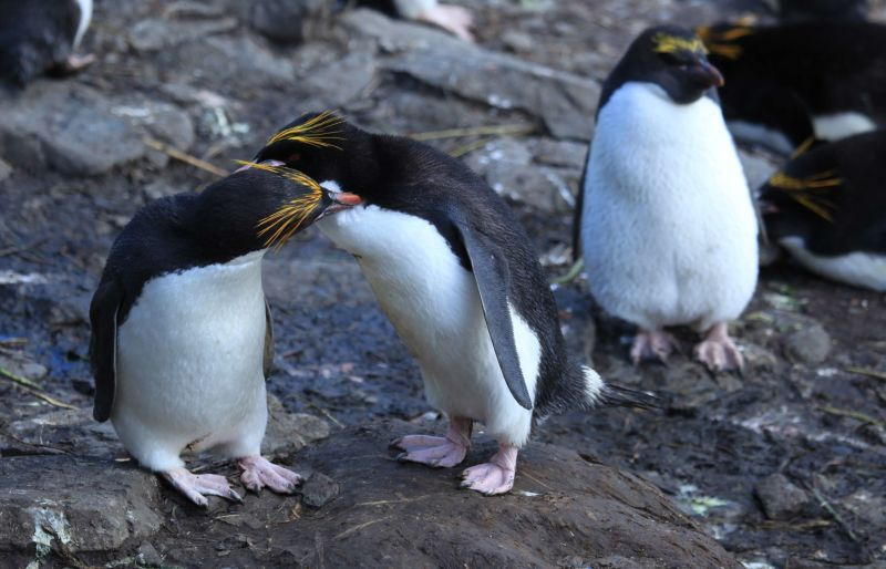Macaroni Penguins grooming each other