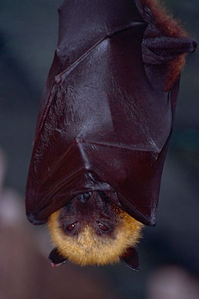 Madagascan Flying Fox (Pteropus rufus) (captive specimen)