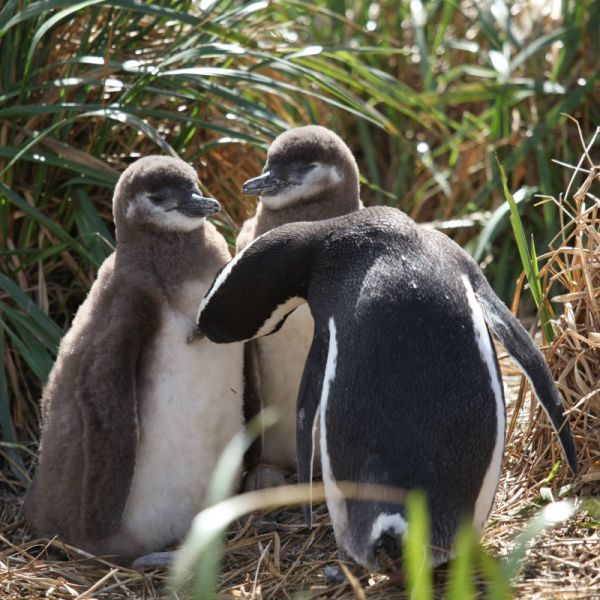 Magellanic Penguin grooming chicks