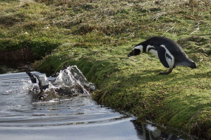 Magellanic Penguin splash