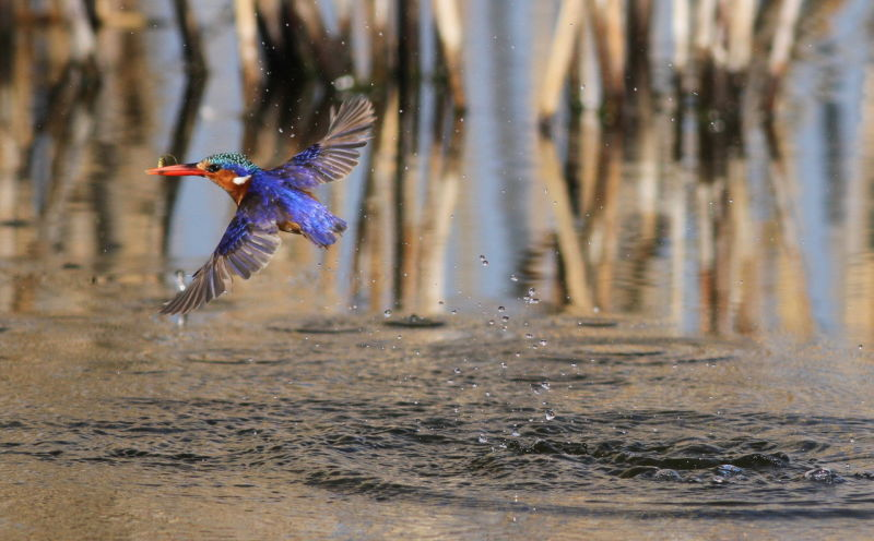 Malachite Kingfisher, Alcedo cristata at Marievale Nature Reserve, Gauteng, South Africa