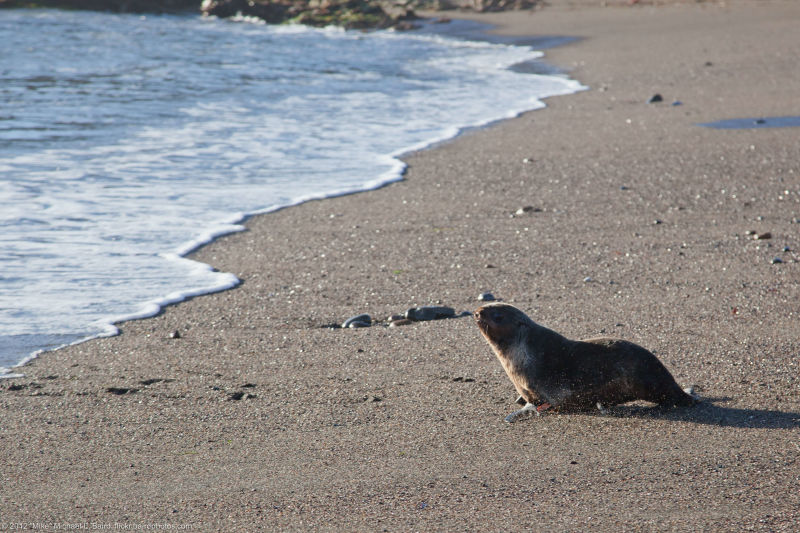 Male Northern Fur Seal named Cliff Kringle approaches water