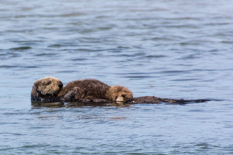Mama Sea Otter with Pup