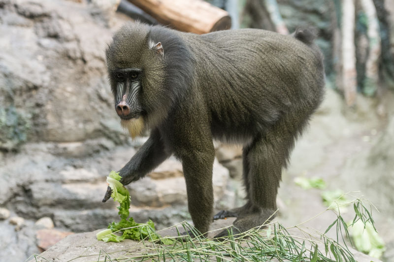 Mandrill Eating Lettuce