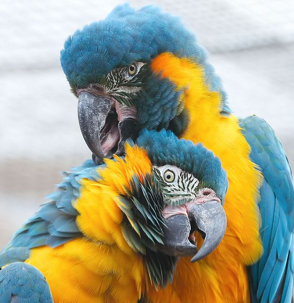 Blue-Throated Macaw photo