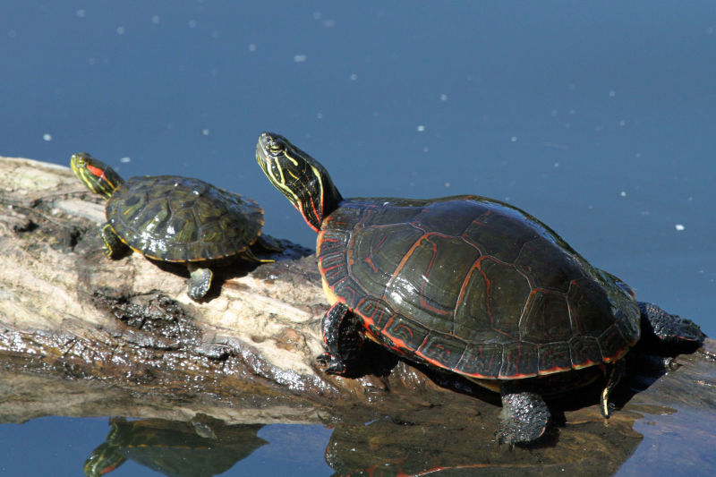 Midland painted turtle (Chrysemys picta marginata)