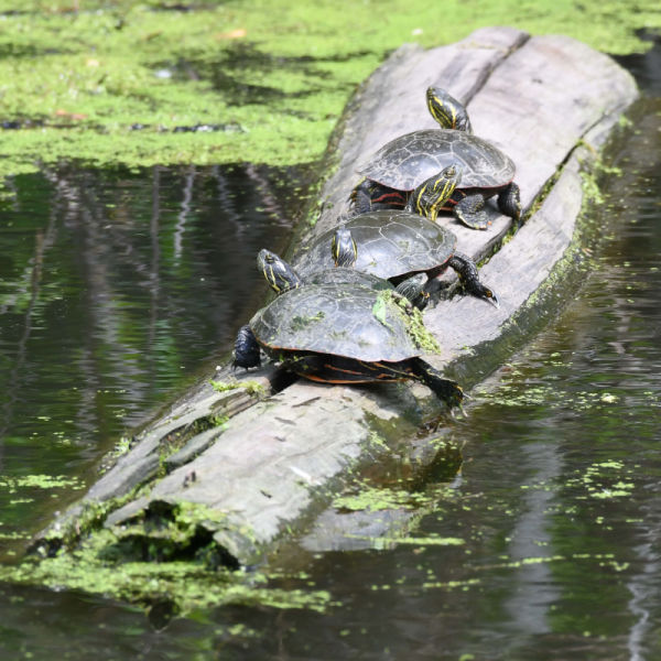 Midland Painted Turtles